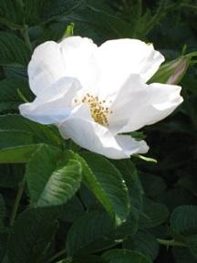 White_Flower_4881