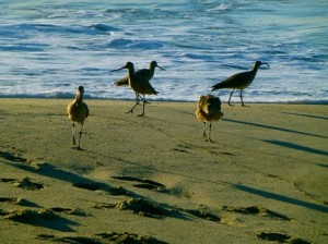 Beach_Birds
