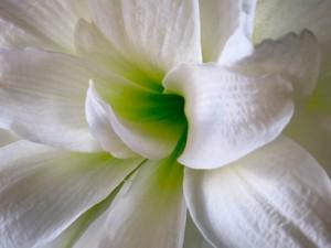White_Flower_6694