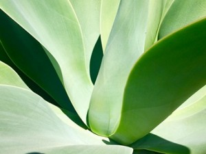 Succulent_Leaves_P0001